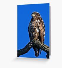 Immature Bald Eagle Greeting Card