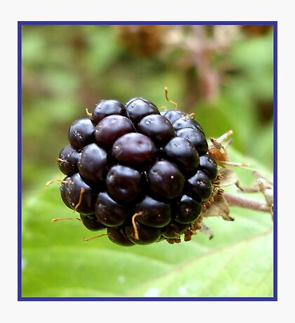 Wild blackberry  Photographic Print