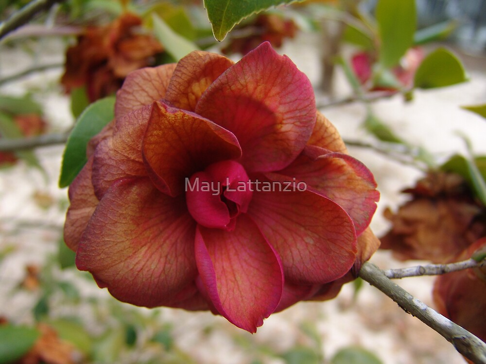 Frost-touched Camellia by May Lattanzio