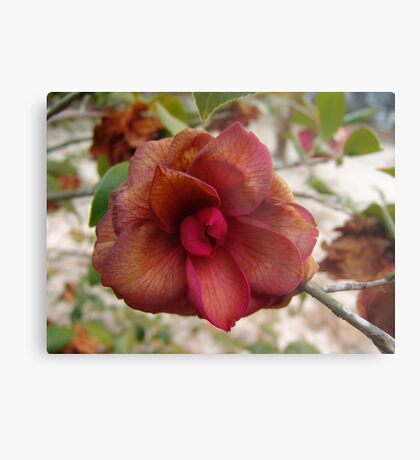 Frost-touched Camellia Metal Print