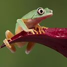 Lemur leaf frog on flower by Angi Wallace