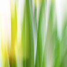 Daffodil Impressions by Lucy Hollis