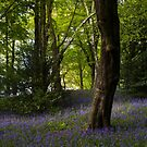 Bluebells in woodlands 2 by Angi Wallace