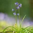 Simply bluebells by Angi Wallace
