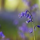 Bluebells and bokeh by Angi Wallace