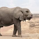 Sphynx cat elephant by Felfriast