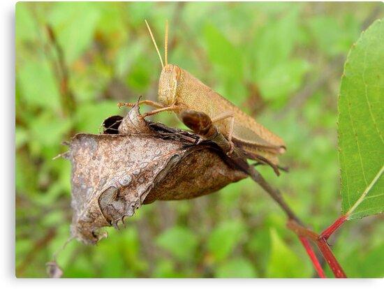 Carolina Locust by May Lattanzio