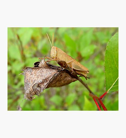 Carolina Locust Photographic Print