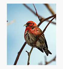 White Winged Crossbill - 1 Photographic Print