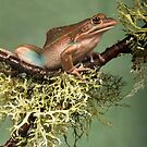 Green and gold bell frog by Angi Wallace
