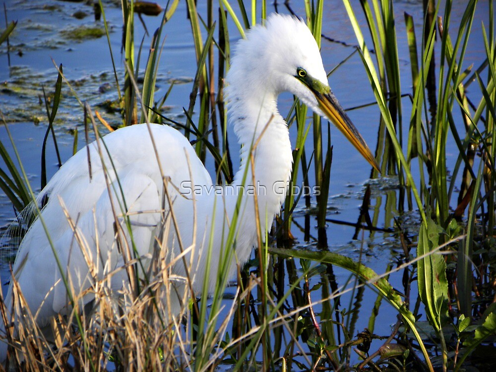 Great Egret by S Gibbs