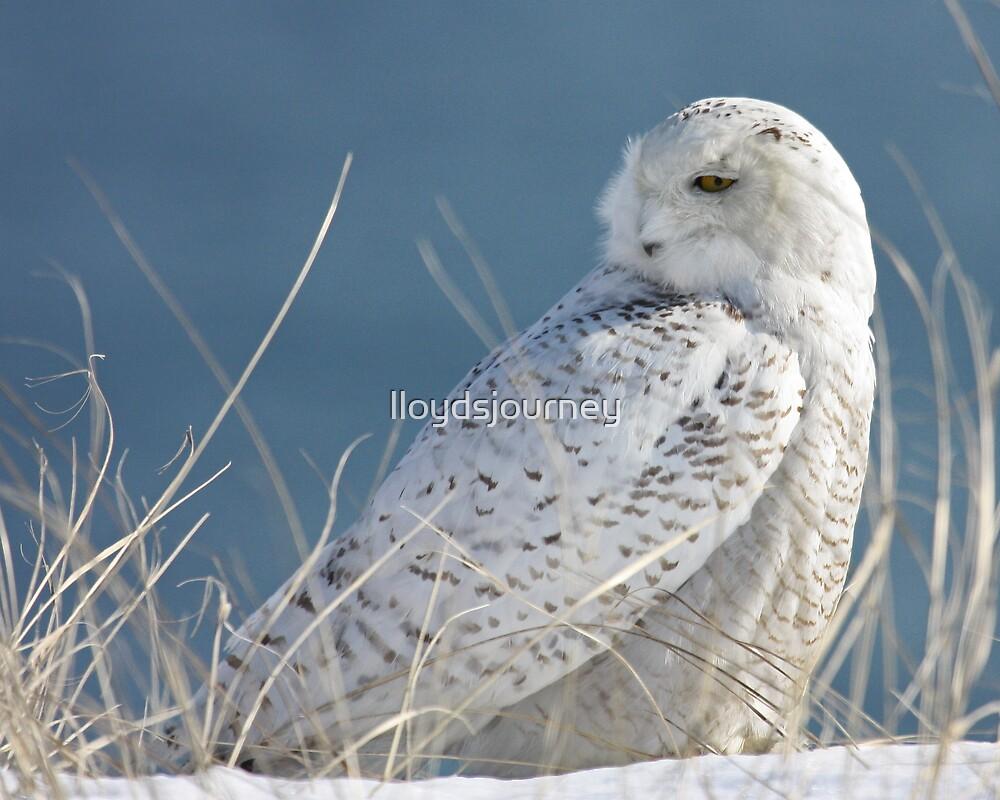 Snowy Owl in hiding by lloydsjourney