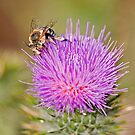 Bee on a Thistle by Richard  Windeyer