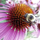 Buzzy Bee on Coneflower by Barberelli