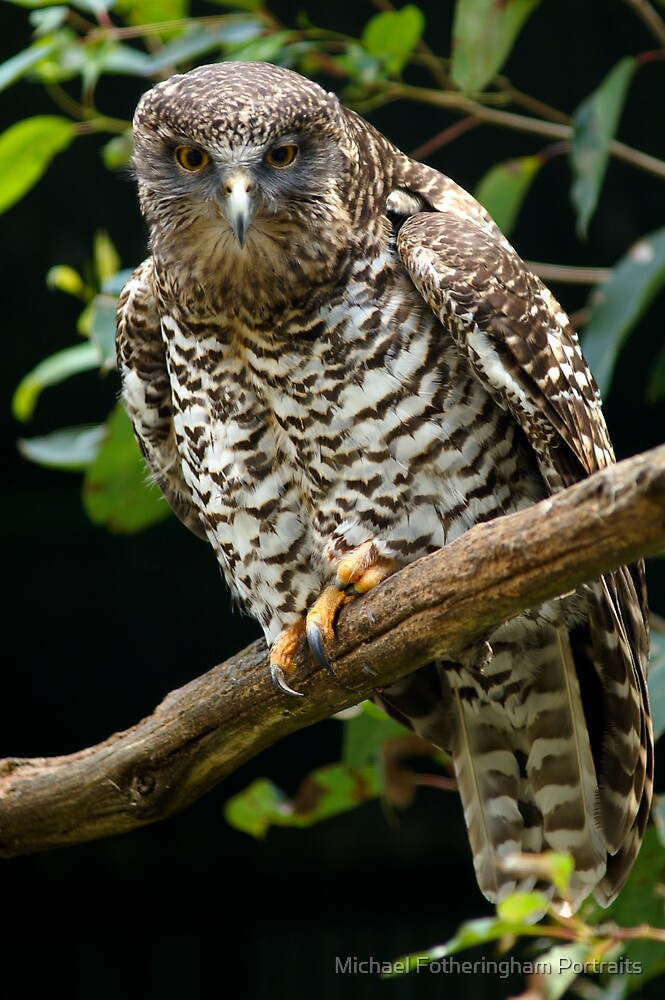 Powerful Owl by Michael Fotheringham Portraits