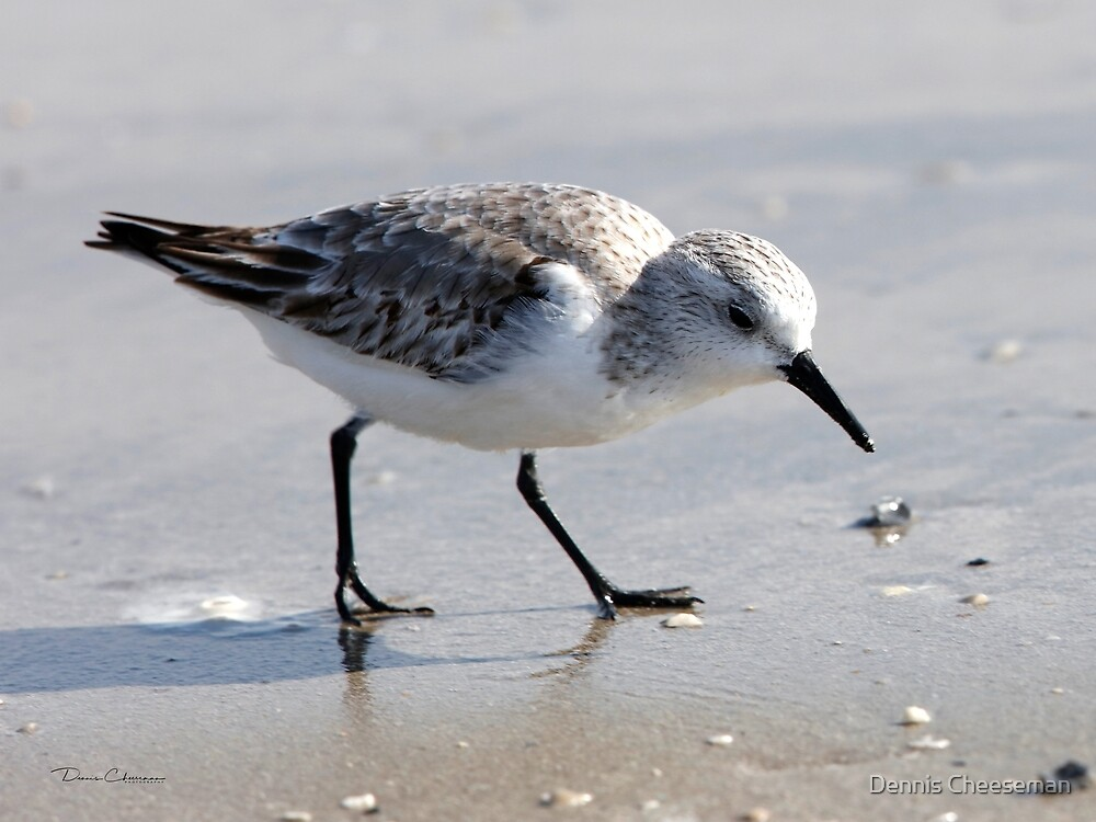 sanderling by Dennis Cheeseman