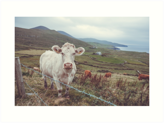 Kerry Cow by Shay Murphy