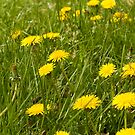 Dandelion in the grass by Graphic-T