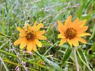 Yellow flowers in the gentle breeze of the wilderness - Nature photography by Barberelli. by Barberelli