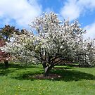 Blooming White Crabapple Tree in Springtime by Barberelli