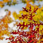 Autumn leaves by indiafrank