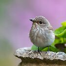 Spotted flycatcher (Muscicapa striata) by Stephen Liptrot