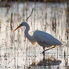 Great egret (Ardea alba) by Stephen Liptrot