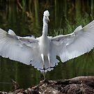Egret landing.  by DaveBassett