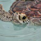 Loggerhead Turtle by Teresa Zieba