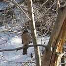 Backyard Sharp Shinned Hawk by Bellavista2