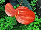 Nature In Red - Anthurium by Margaret Stevens