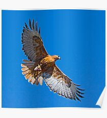 Rufous Morph Red-Tailed Hawk Poster