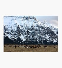 Elk Herd at Waterton Photographic Print