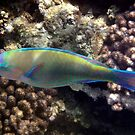 Bullethead Parrotfish Makadi Bay by hurmerinta