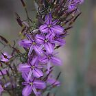 Thysanotus patersonii (Twining Fringe-lily) by lezvee