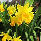 Daffodils by Emazevedo