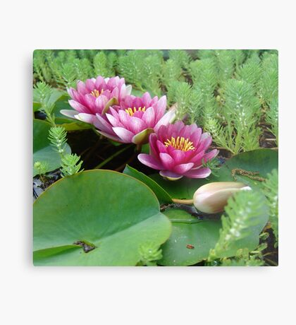 Waterlilies and Parrot Feather Metal Print