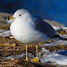 Ring-billed Gull by Bill Miller