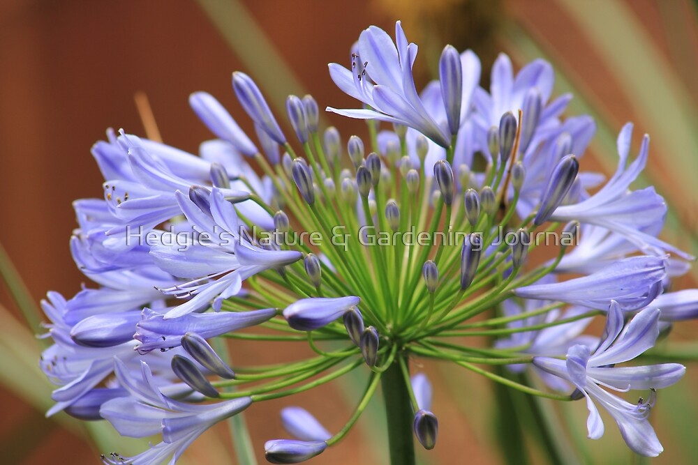 Agapanthus Blue by Hedgie's Nature & Gardening Journal
