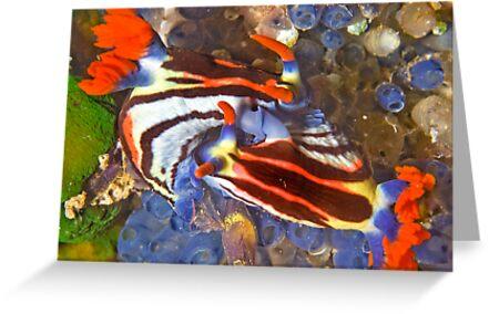 Nembrotha Nudibranch Mating by Dan Sweeney