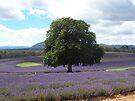 Bridgestowe Lavender Fields  by Michelle Cocking