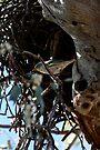 Brave Bird, Striated Pardalote (Pardalotus striatus) by Normf