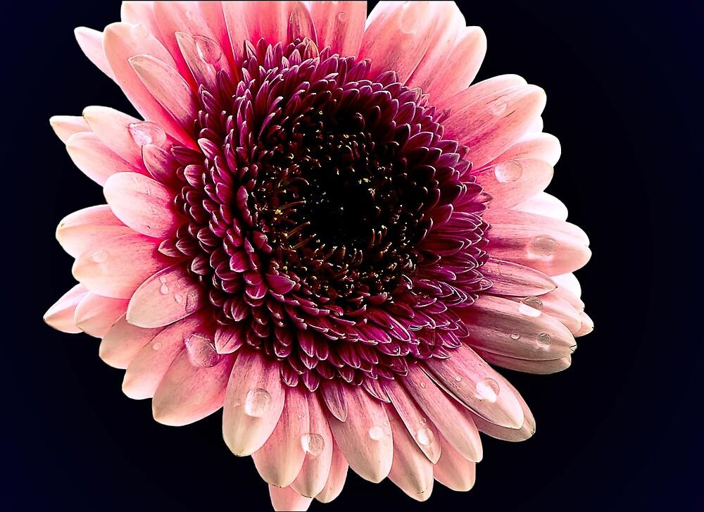 Macro Flower by amira