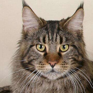 maine coon cat second by marasdaughter