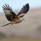 Red kite (Milvus milvus) by Stephen Liptrot