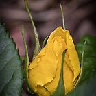 Yellow rosebud Leith Park Victoria 20171025 1647  by Fred Mitchell