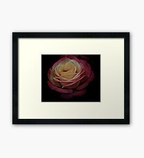Antique Double Delight Rose  Framed Print
