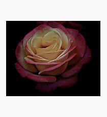 Antique Double Delight Rose  Photographic Print