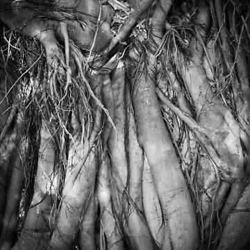 fig tree roots - fern pool, karijini by colhellmuth