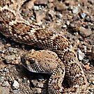 Rattlesnake near Joshua Tree entrance. by Dave Stephens